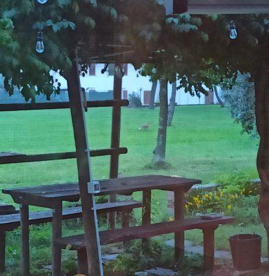 Volpe CodaBianca al parco comunale di Aquileia